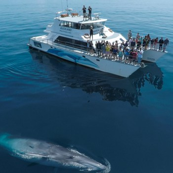 Whale watching in Auckland
